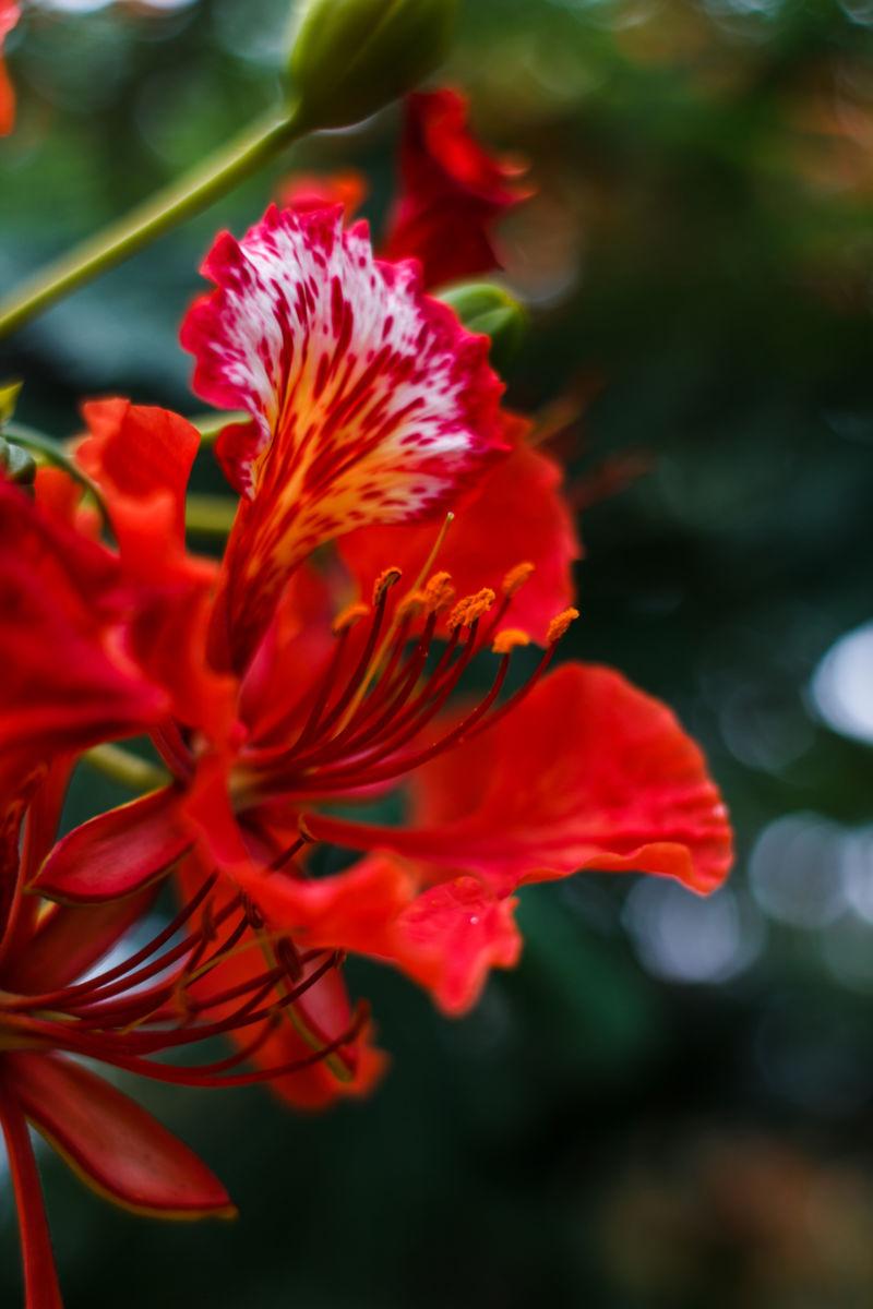 Ảnh bông hoa phượng đỏ đẹp