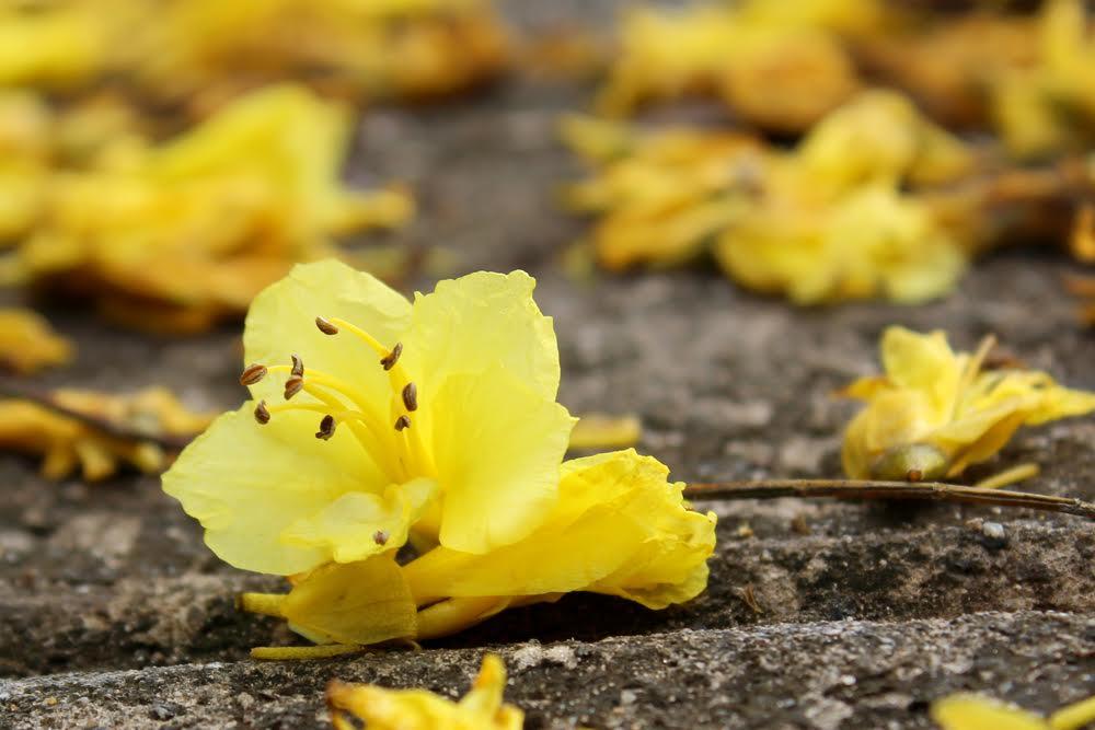 Ảnh bông hoa phượng vàng