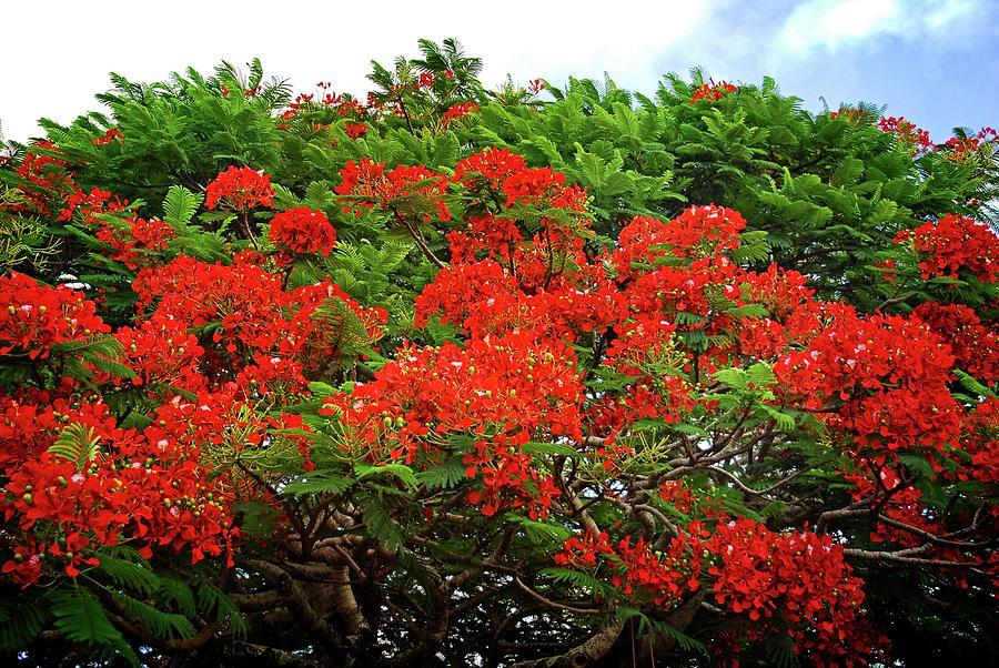 Ảnh hoa phượng đỏ nở đẹp
