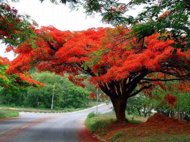 Hình ảnh cây hoa phượng đỏ