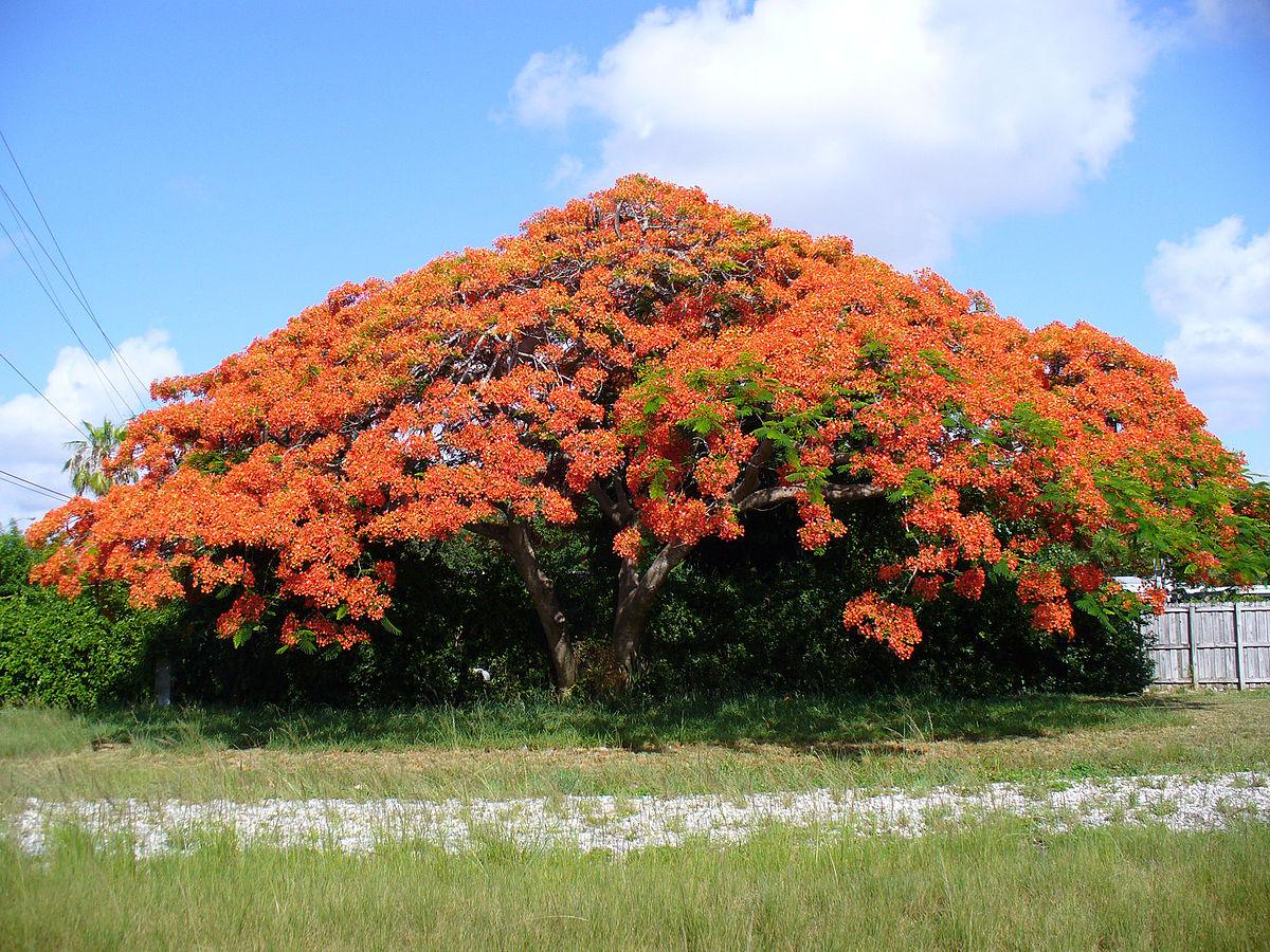 Hình ảnh cây hoa phượng