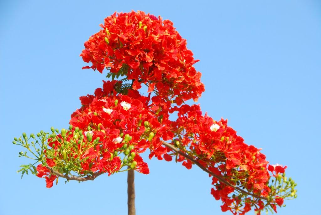 Hình ảnh chùm hoa phượng đỏ