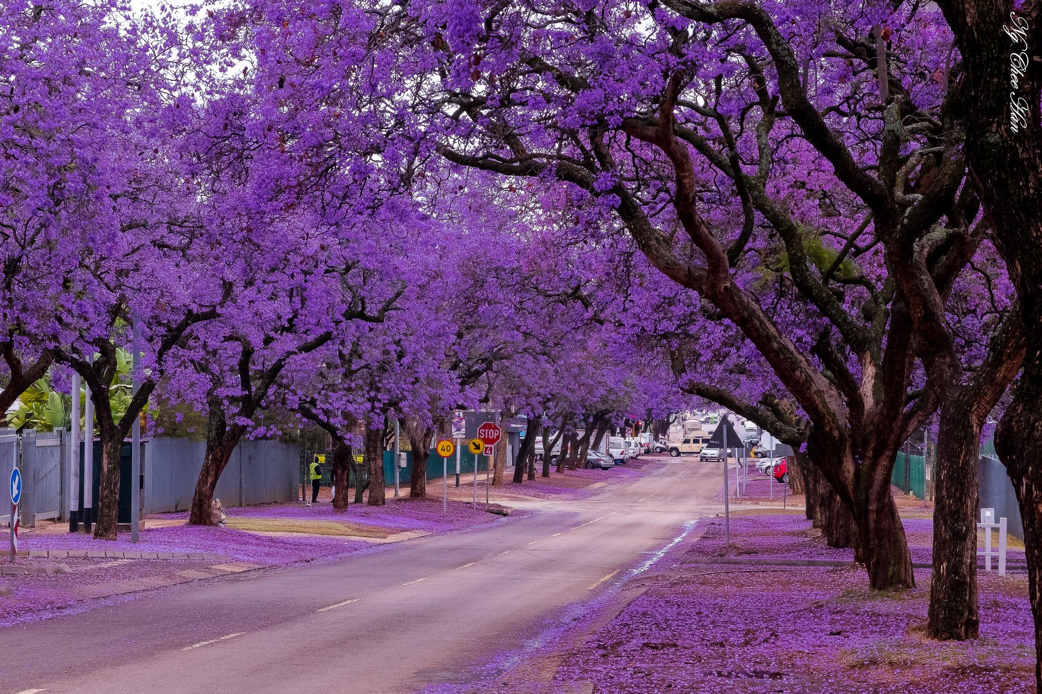 Hình ảnh con đường hoa phượng tím