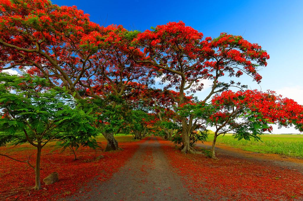 Hình ảnh con đường hoa phượng