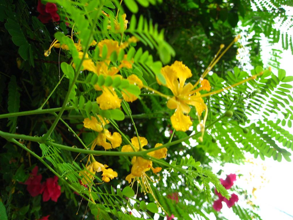 Hình ảnh hoa kim phượng vàng đẹp