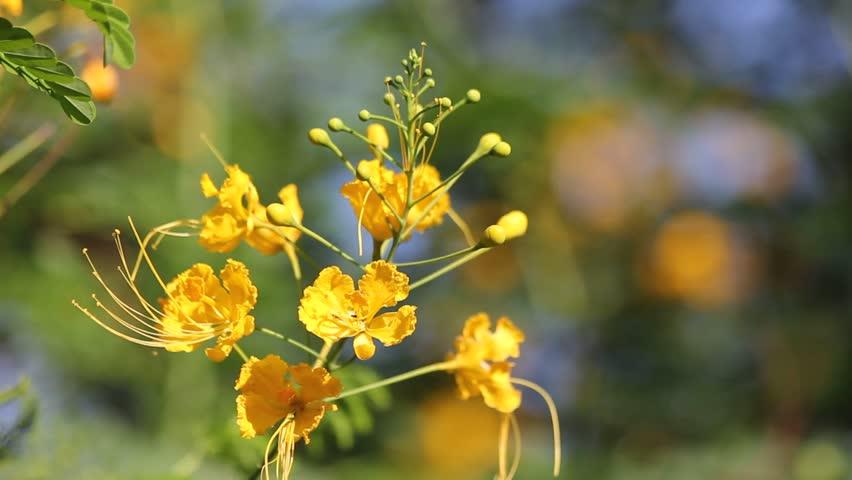 Hình ảnh hoa kim phượng vàng