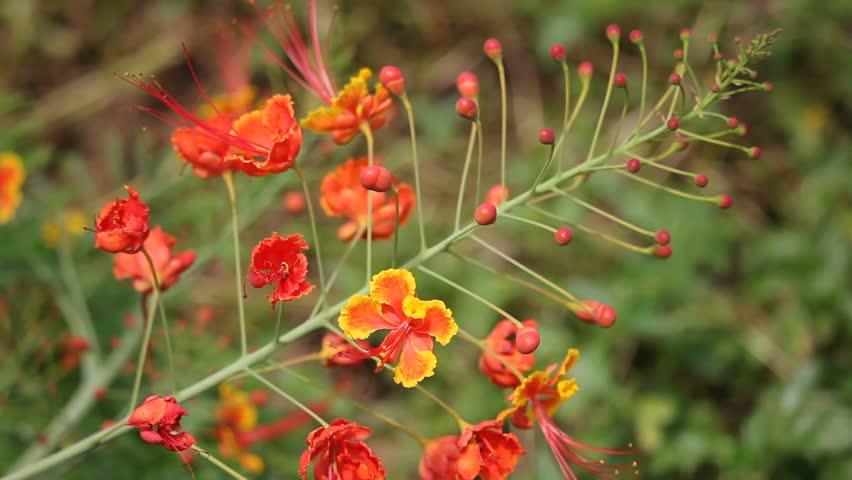 Hình ảnh hoa kim phượng