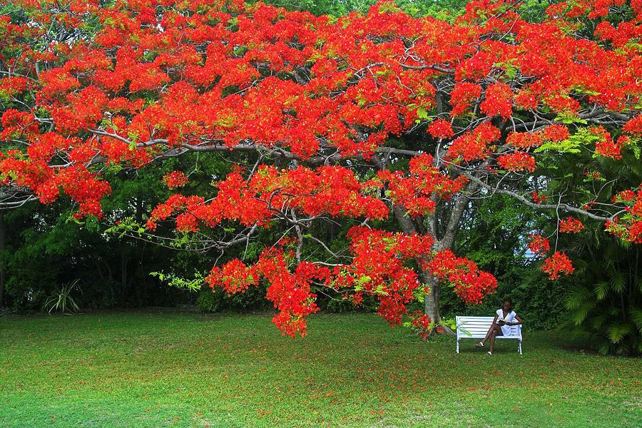 Hình ảnh hoa phượng đỏ thắm