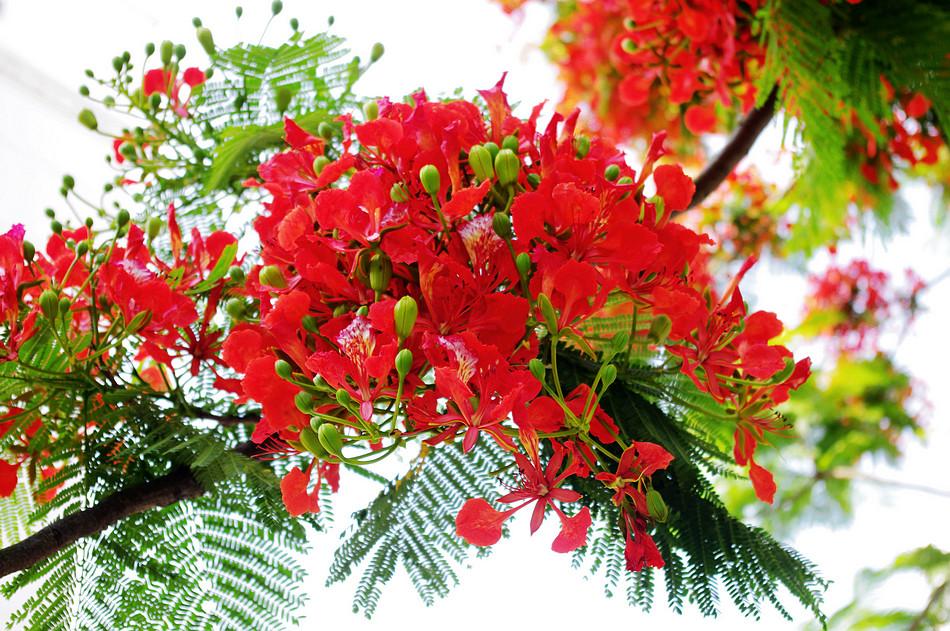 Hình ảnh hoa phượng đỏ