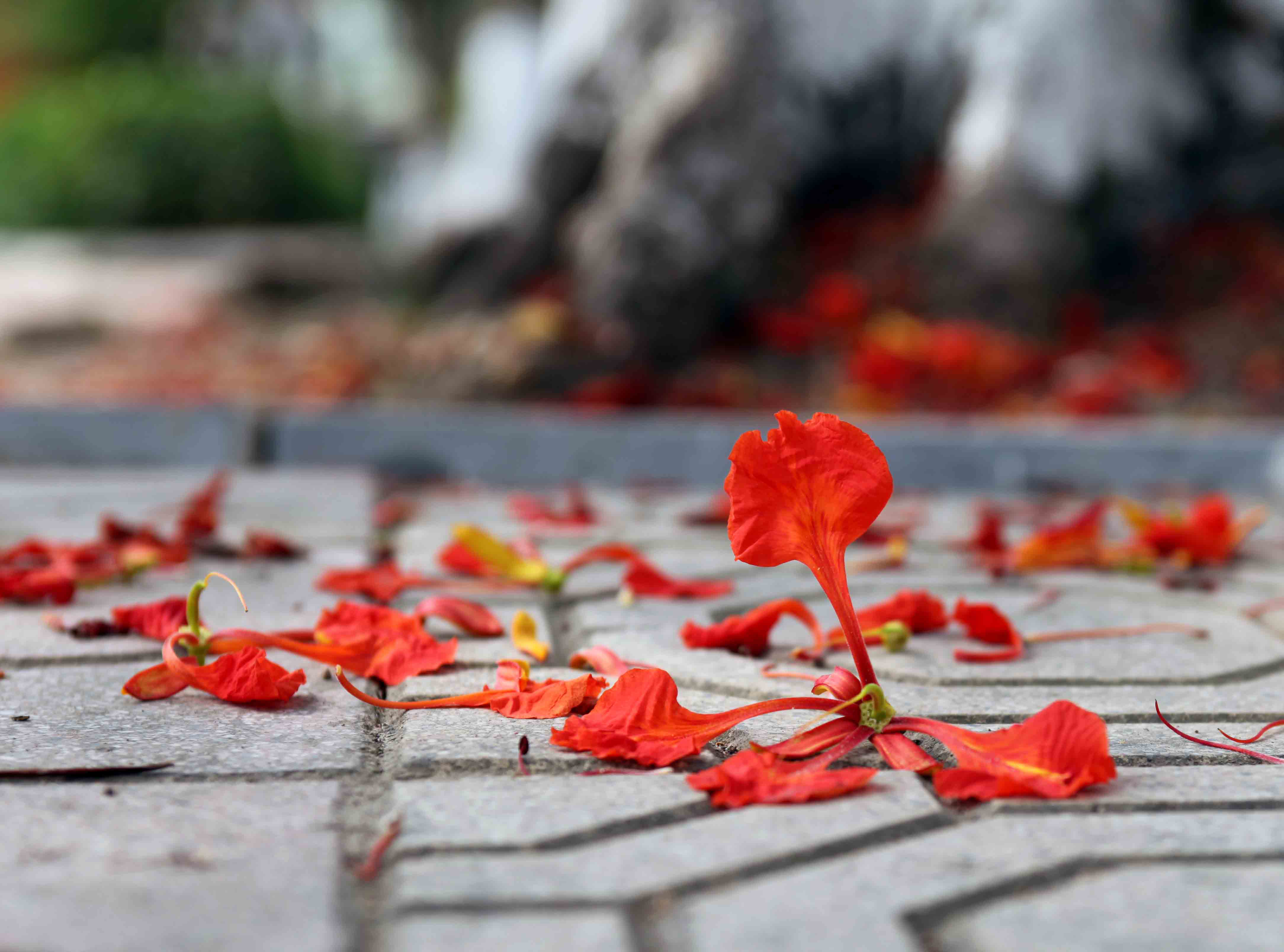 Hình ảnh hoa phượng rơi