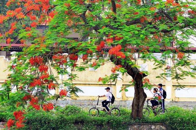 Hình ảnh hoa phượng thời học sinh