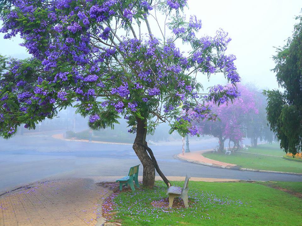 Hình ảnh hoa phượng tím đẹp