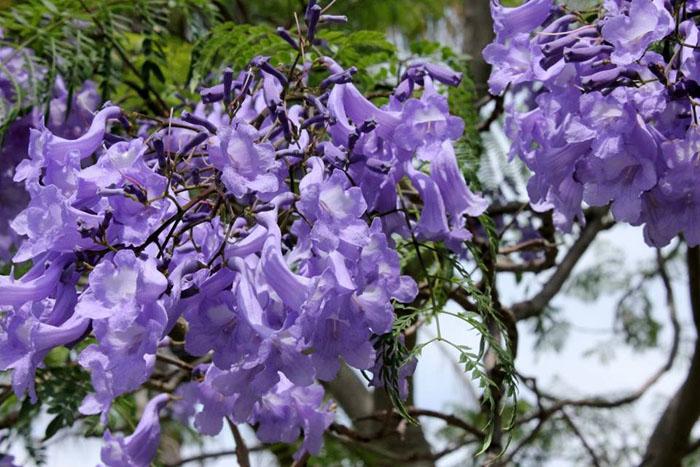 Hình ảnh hoa phượng tím