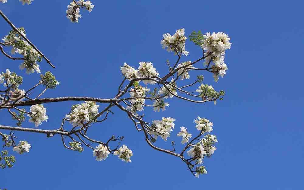 Hình ảnh hoa phượng trắng mùa hè