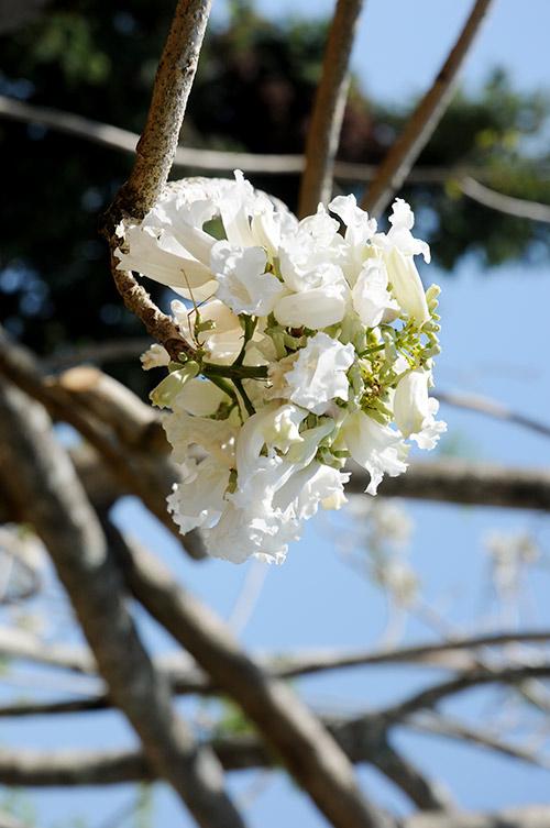 Hình ảnh hoa phượng trắng