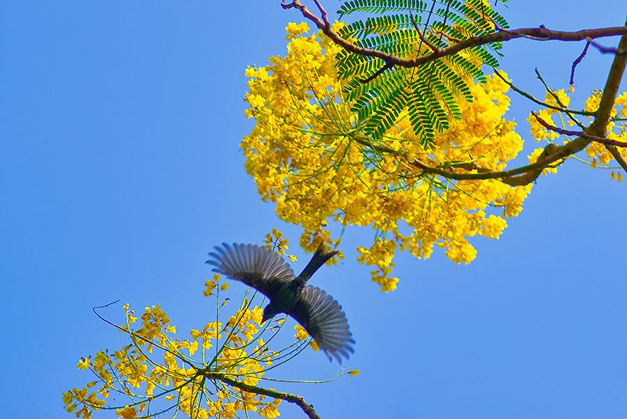 Hình ảnh hoa phượng vàng đẹp nhất