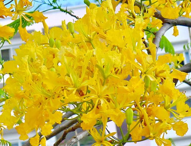 Hình ảnh hoa phượng vàng