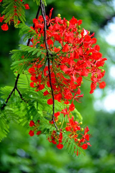 Hình ảnh hoa phượng vĩ đẹp