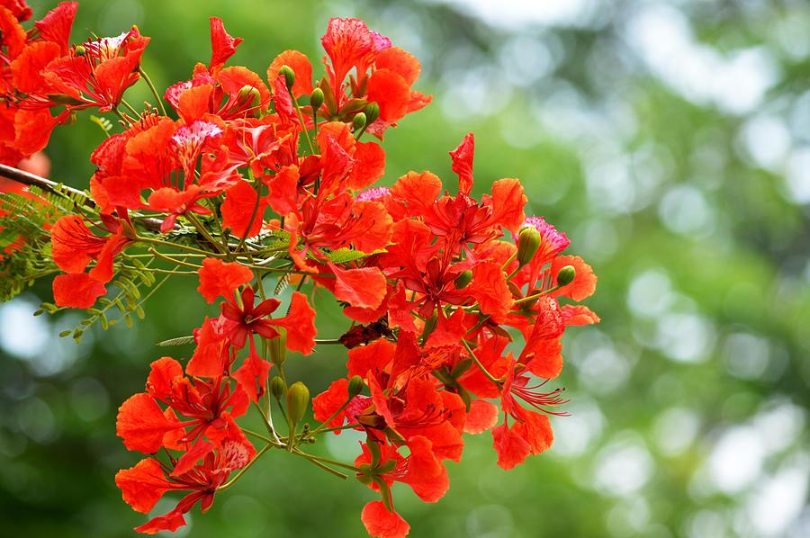 Hình ảnh hoa phượng vĩ đỏ