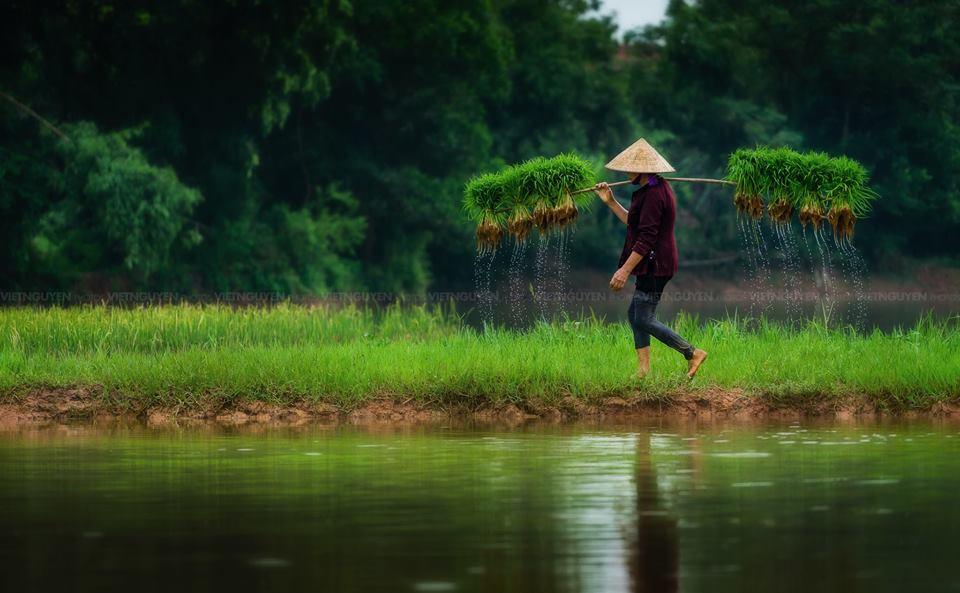Hình ảnh người mẹ gánh lúa