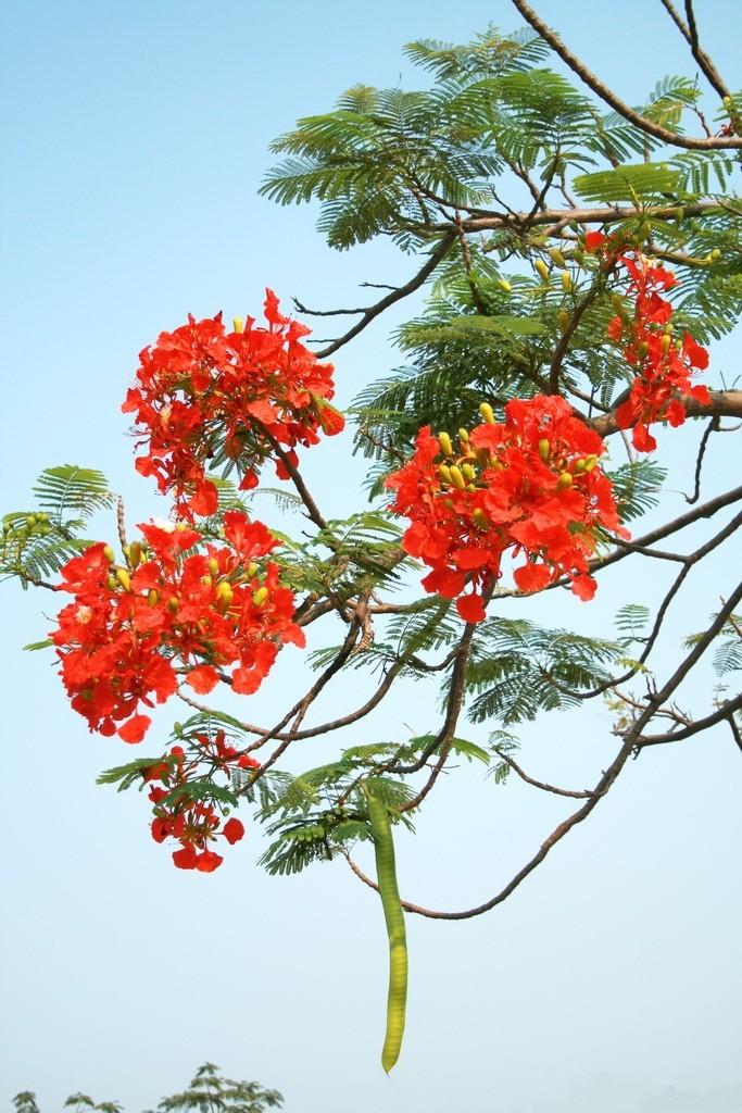 Hình ảnh về cây hoa phượng