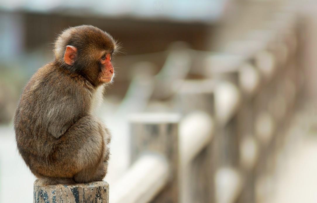 Hình ảnh chú khỉ con dễ thương
