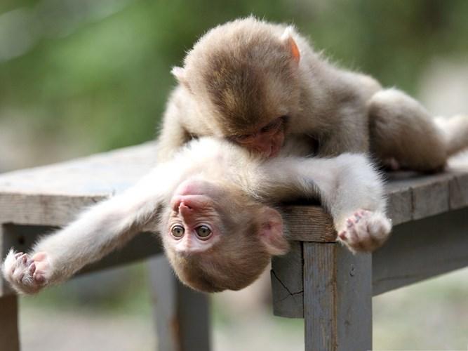 Hình ảnh con khỉ con