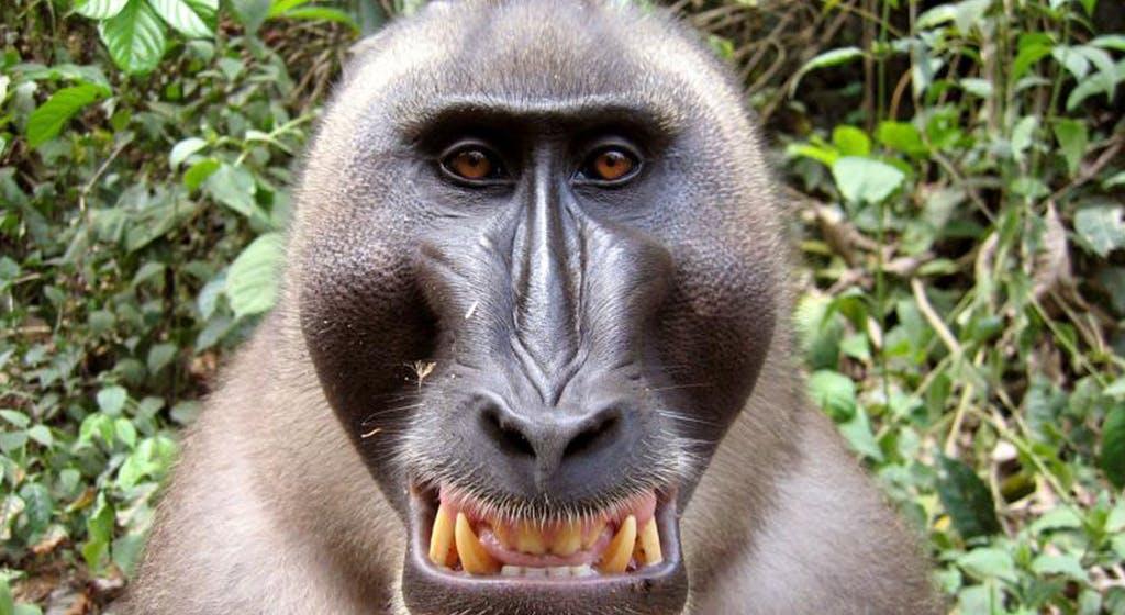 Hình ảnh con khỉ cười