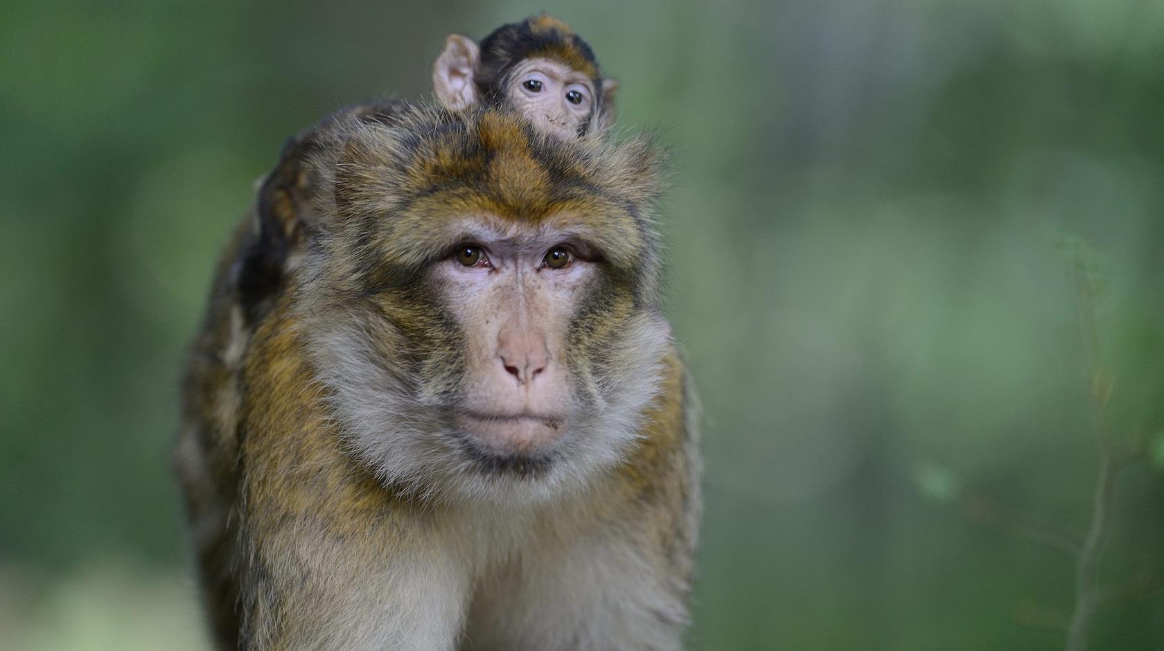 Hình ảnh con khỉ đáng yêu