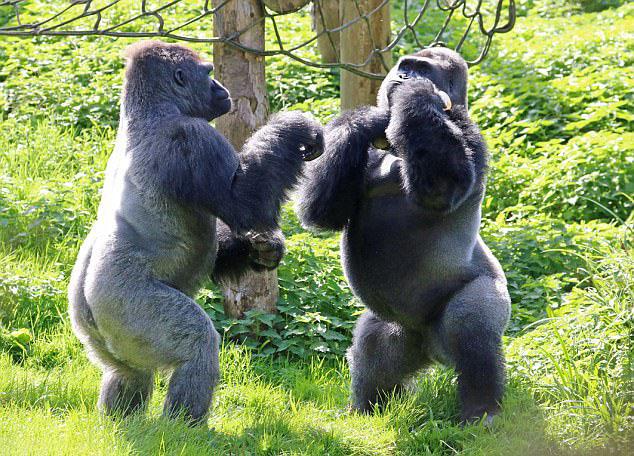 Hình ảnh con khỉ đấu vật