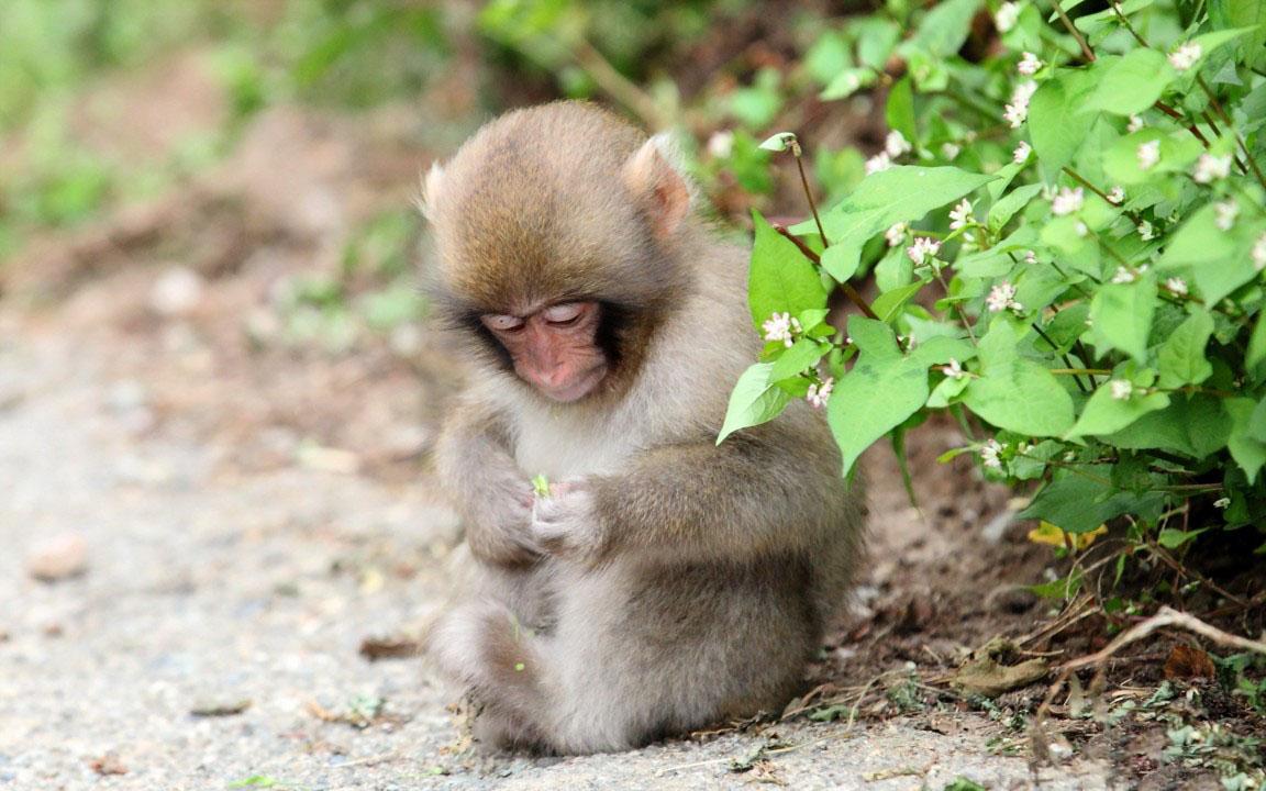 Hình ảnh con khỉ đẹp