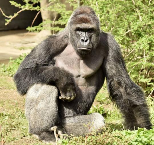 Hình ảnh con khỉ đột