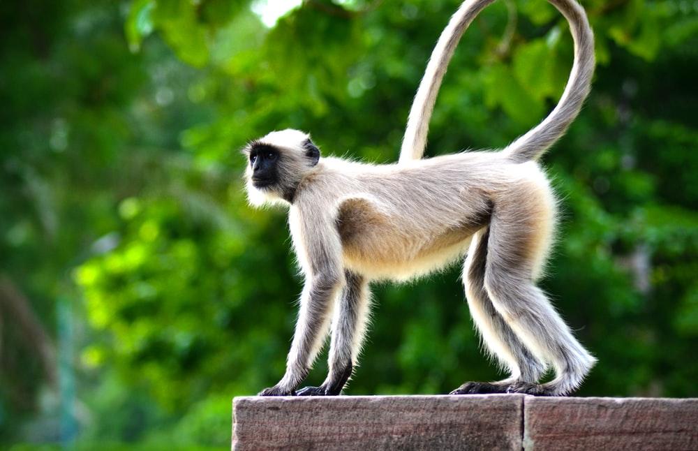 Hình ảnh con khỉ đuôi dài