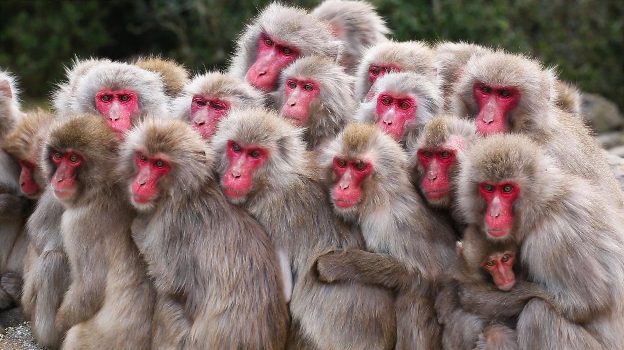 Hình ảnh con khỉ mặt đỏ