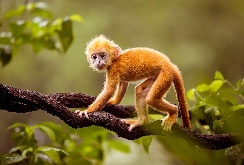 Hình ảnh con khỉ màu vàng đẹp