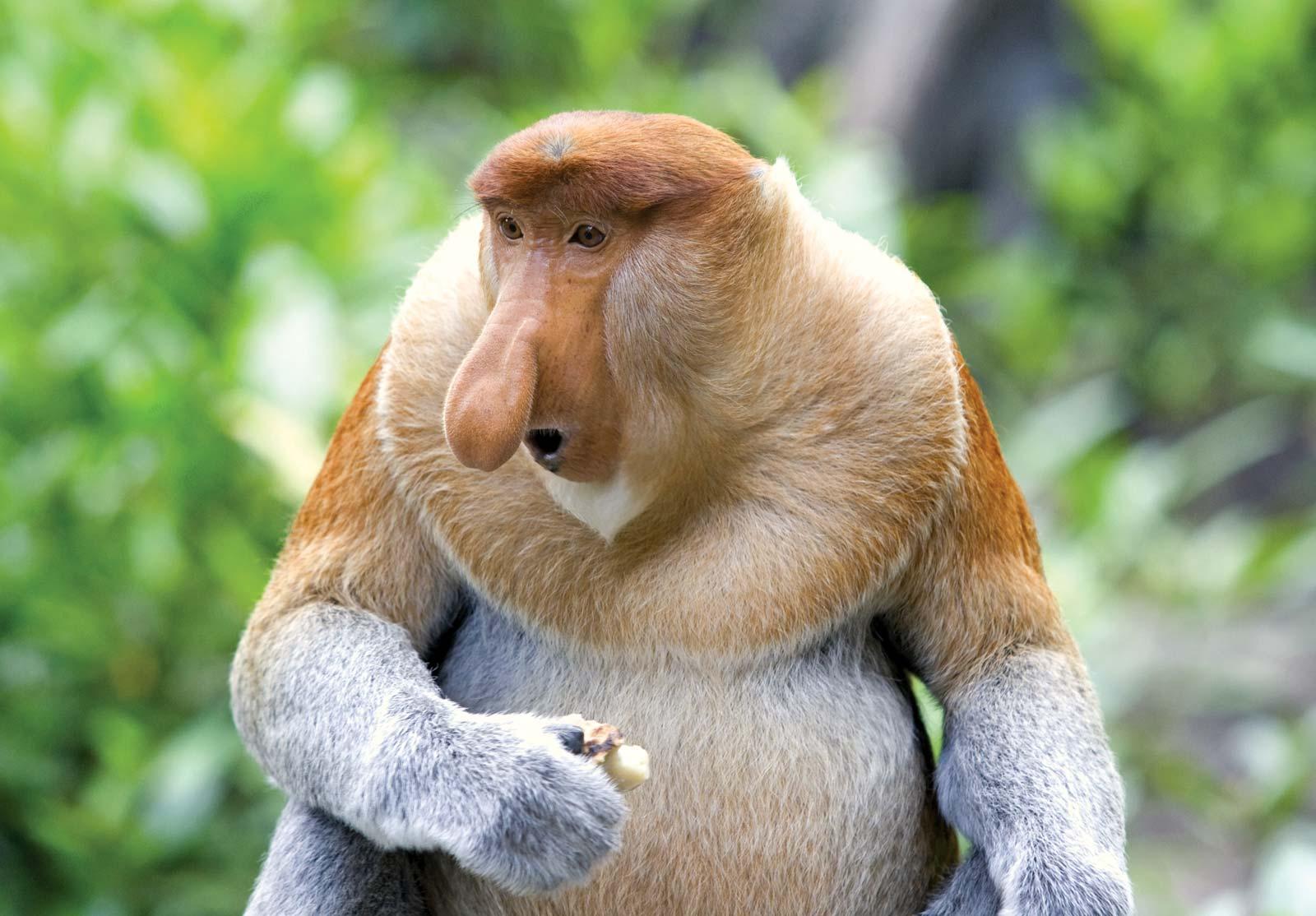Hình ảnh con khỉ mũi dài
