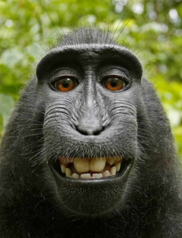 Hình ảnh khỉ đột chụp ảnh selfie