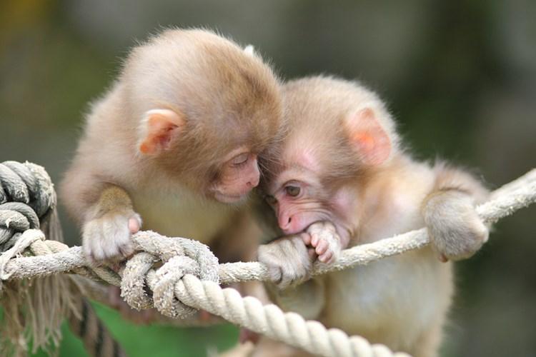Hình ảnh những chú khỉ con