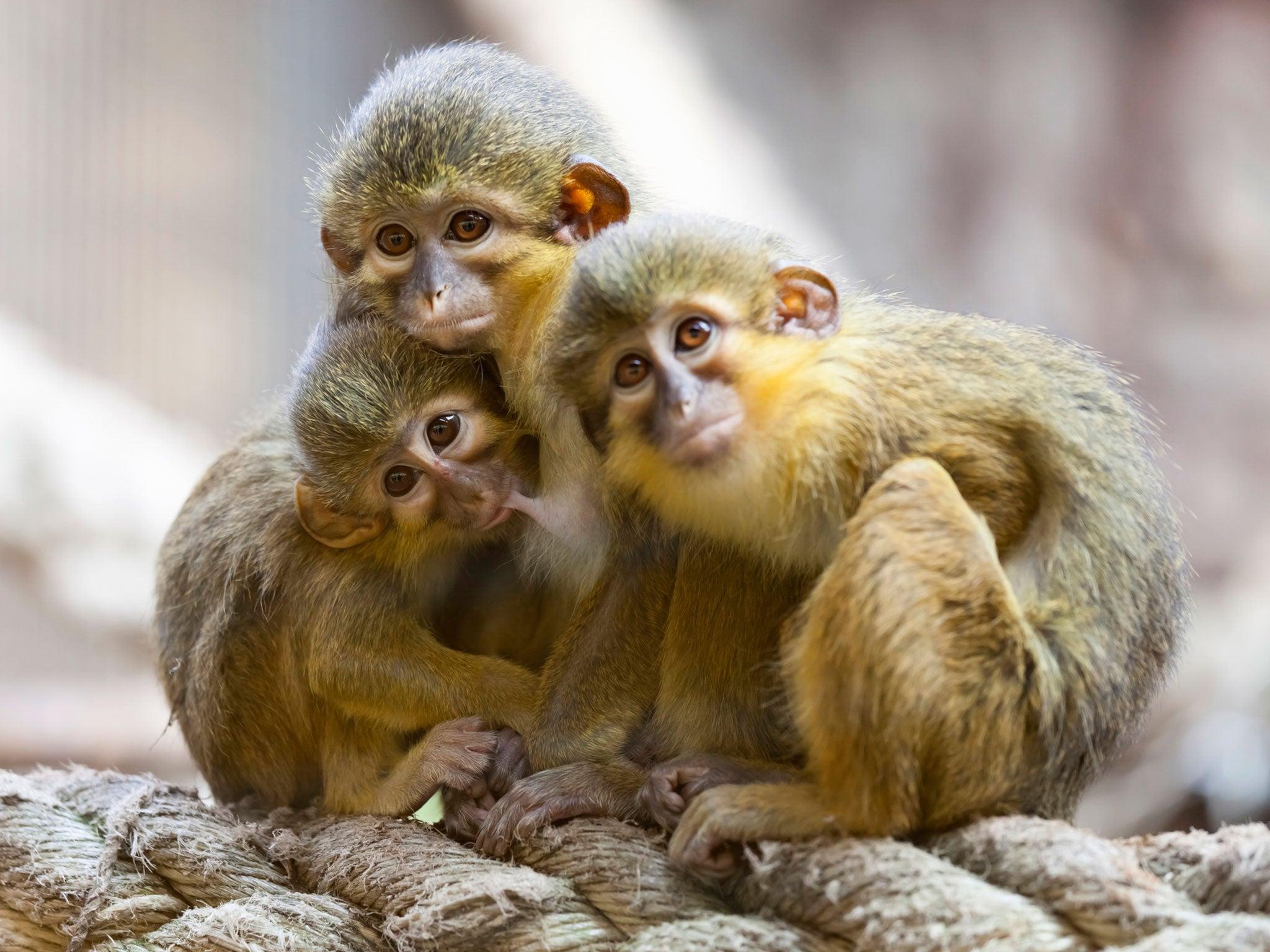Hình ảnh những con khỉ
