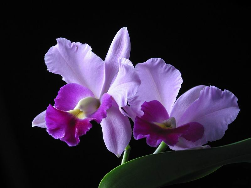 Ảnh hoa lan tím đẹp nhất