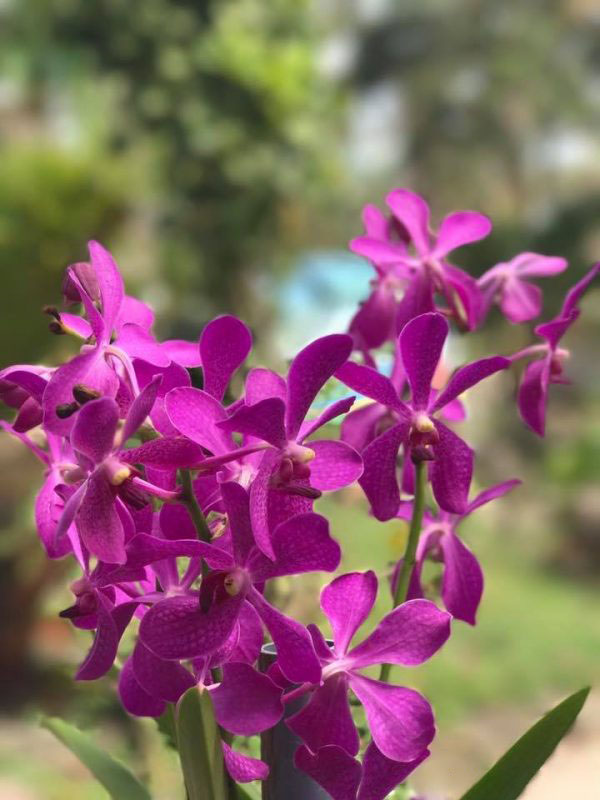 Ảnh hoa phong lan tím