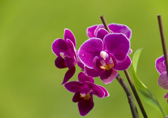 Hình ảnh bông hoa phong lan tím đẹp