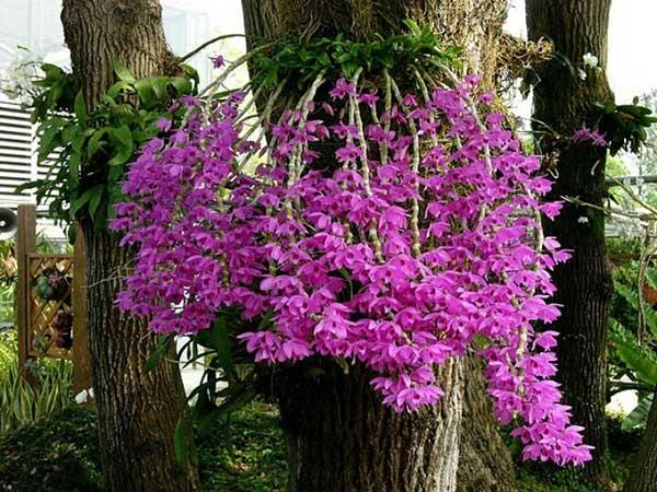 Hình ảnh hoa lan phi điệp tím