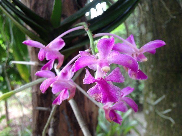 Hình ảnh hoa lan quế tím