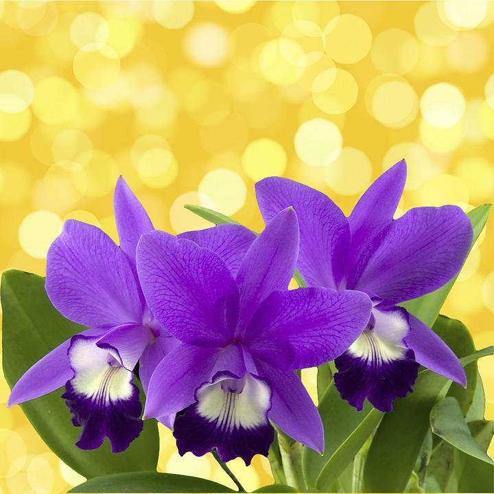 Hình ảnh hoa lan tím cực đẹp