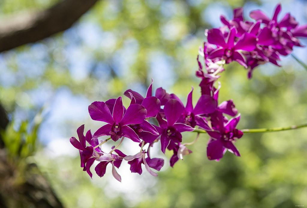 Hình ảnh hoa lan tím đẹp