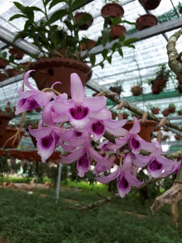 Hình ảnh hoa phong lan phi điệp tím