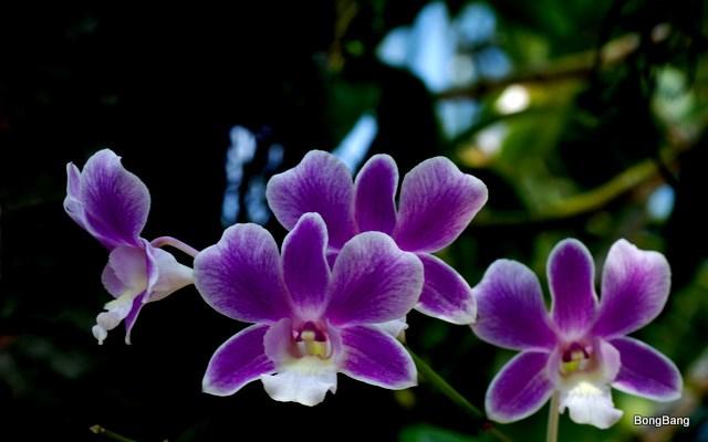 Hình ảnh hoa phong lan tím tự nhiên