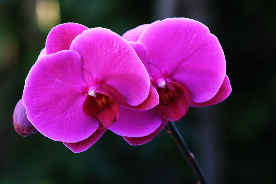 Hình ảnh hoa phong lan tím