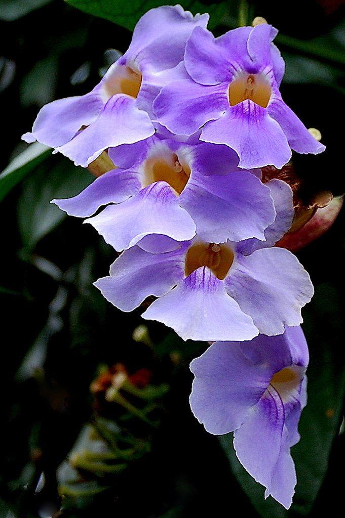Hình ảnh lan màu tím